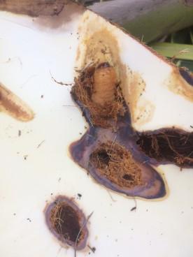 ปัญหาโรคแมลงมะพร้าว_๑๗๐๘๒๒_0006